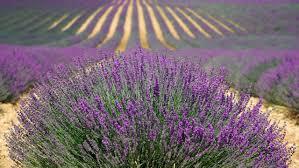 Lavender Plants