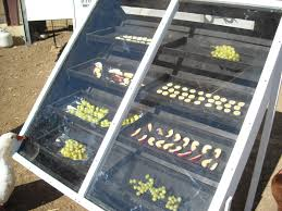 Solar drying of fruits1