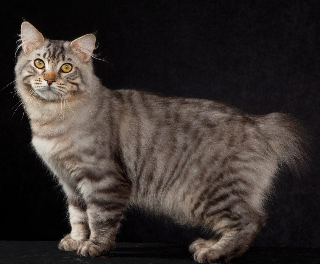 American Bobtail - large cat breed