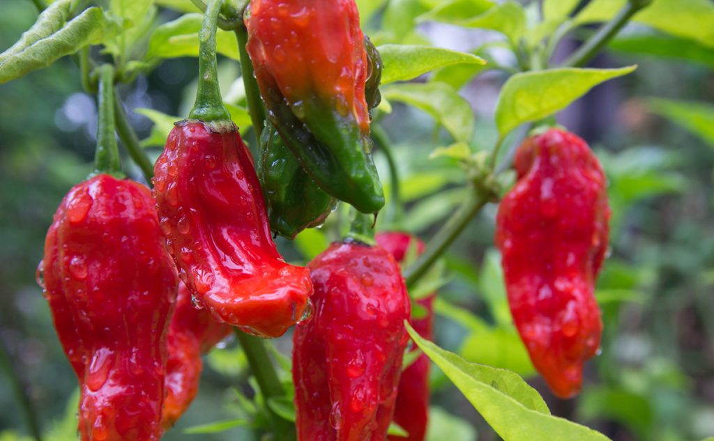 hottest pepper seeds - Bedfordshire Super Naga