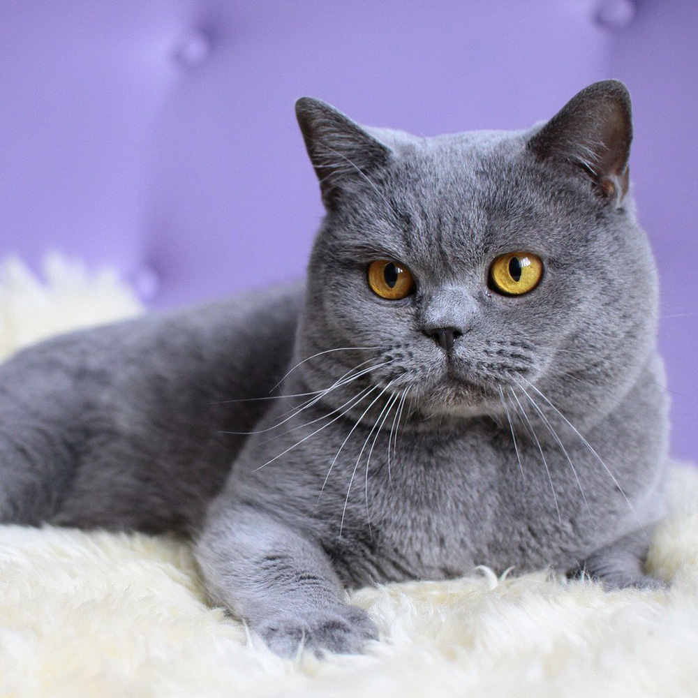 British Shorthair - largest domestic cat breeds