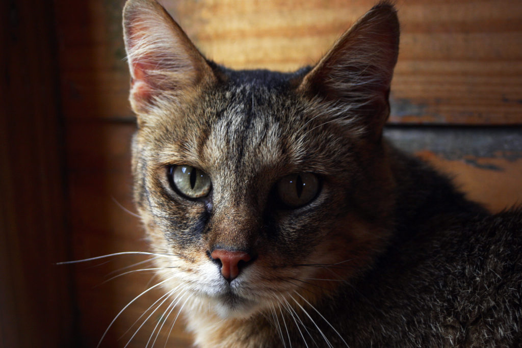 Chausie Cat - large cat breed