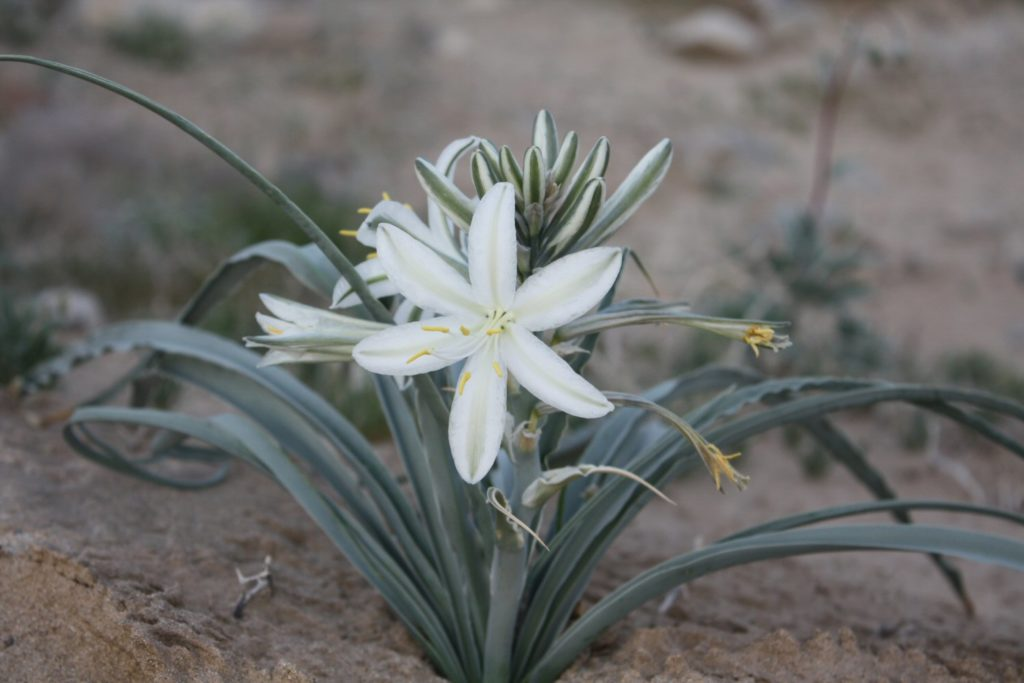 Desert Lily--trees in the dessert
