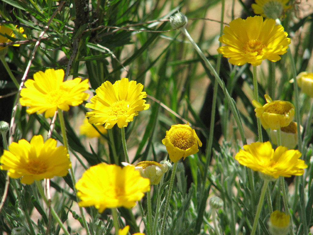 Desert Marigold--trees in the dessert