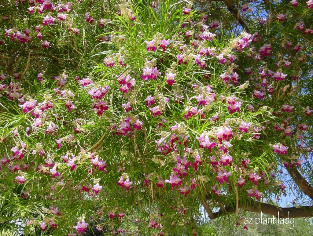 Desert Willow Tree--trees in the dessert