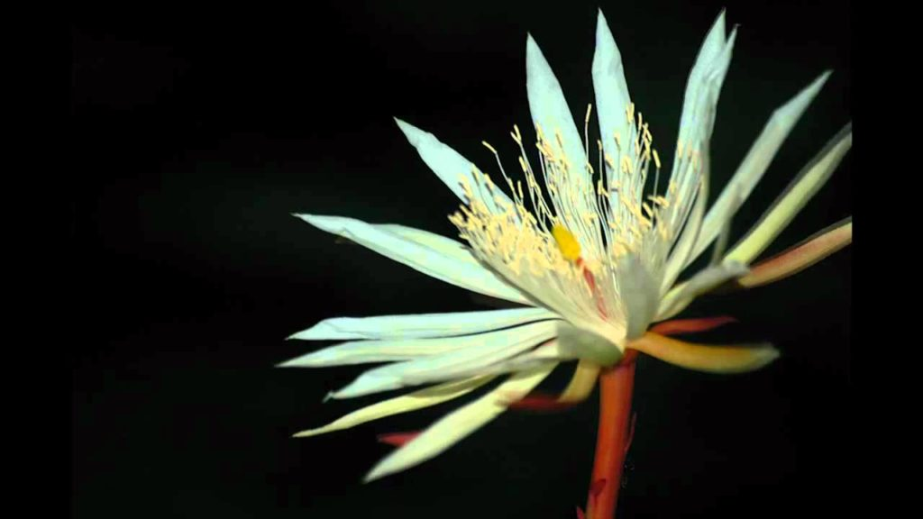 Kadupul Flower -exotic flowers