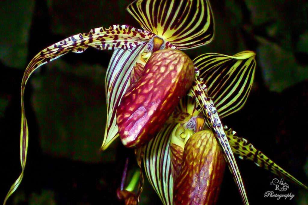 Kinabalu Orchid -exotic flowers