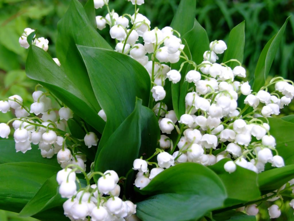 Lily of the Valley -exotic flowers