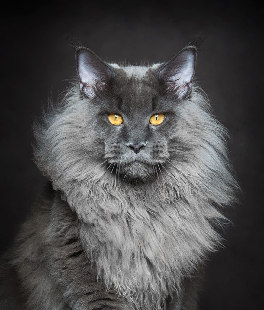 Maine Coon -large cat breed