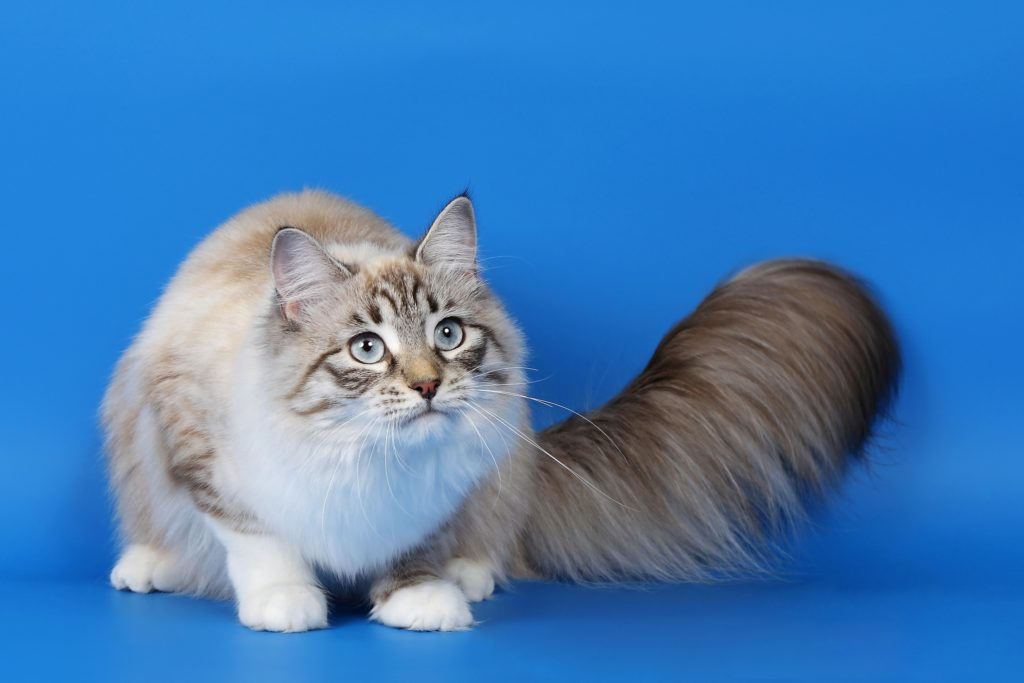 Ragamuffin - large cat breed