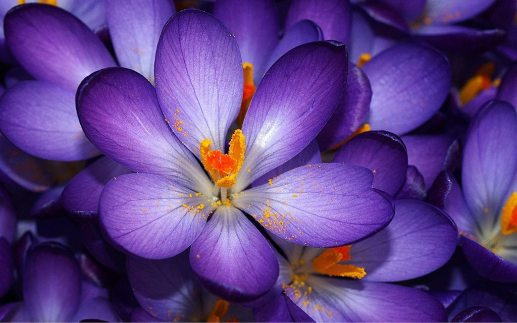 Saffron Crocus -most beautiful flowers