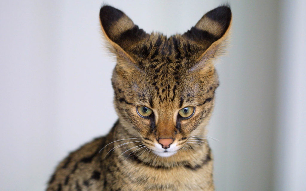 bengal cats full grown