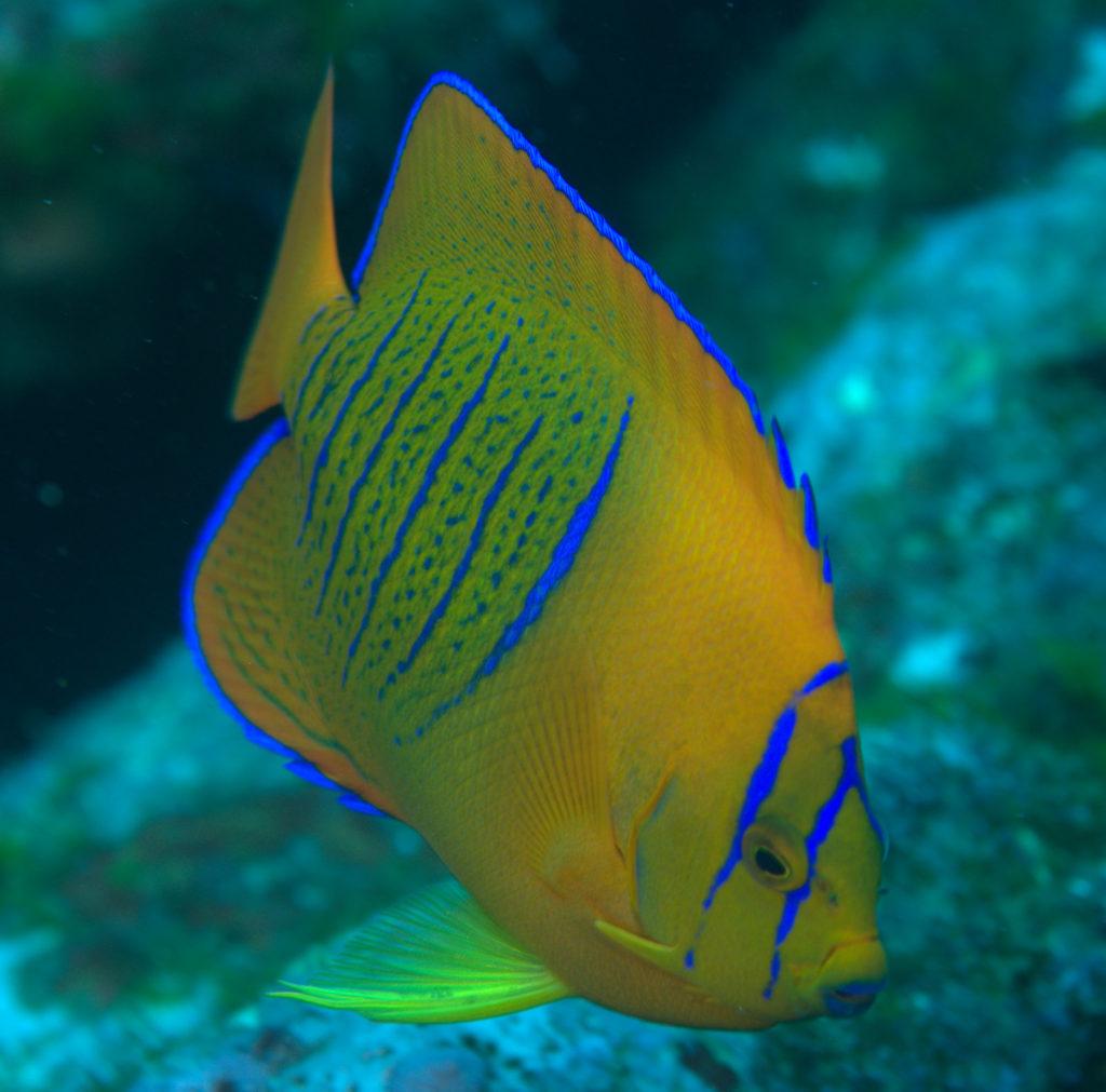 Clarion Angelfish - exotic fish