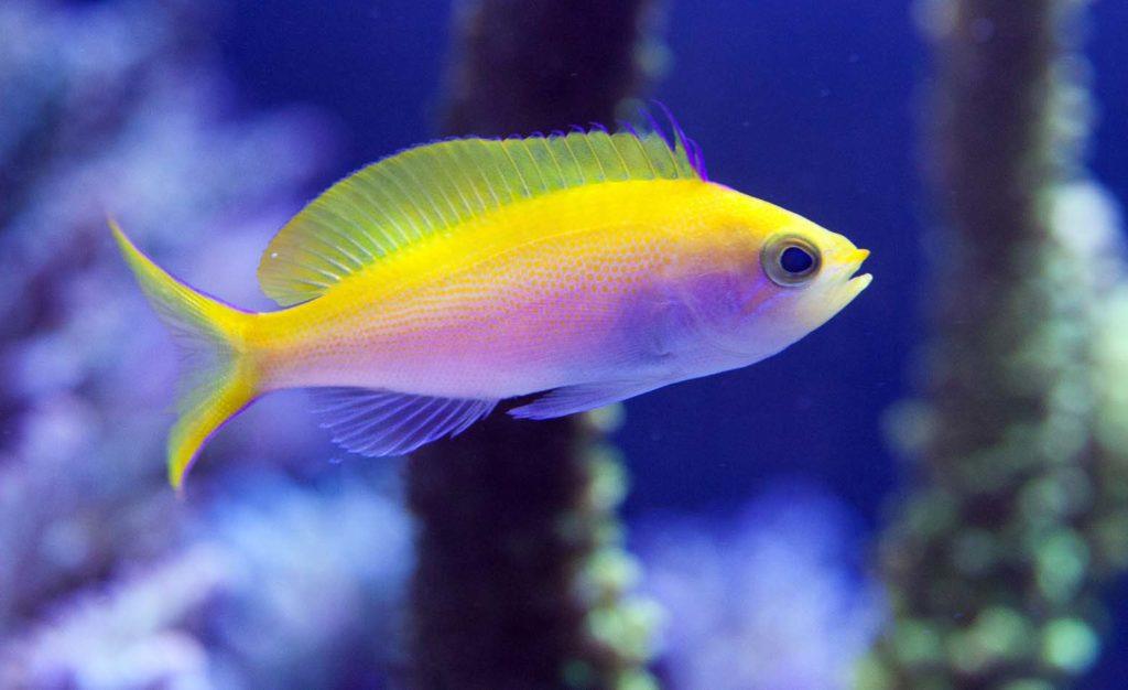 Golden Basslet -most expensive fish