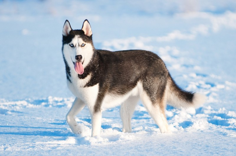 husky -most aggressive dogs breeds