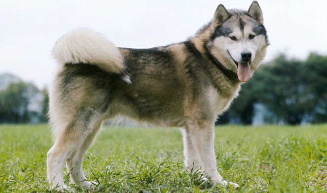 malamute - most aggressive dogs in the world