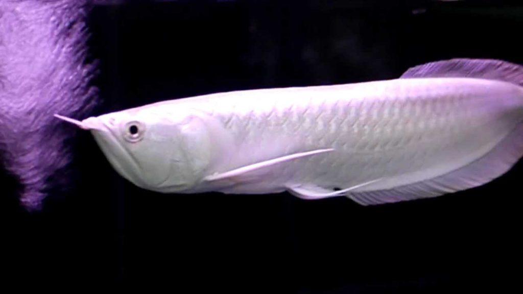 Most Expensive Exotic Fishes - platinum-arowana