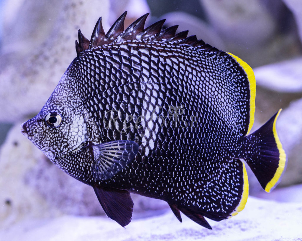 wrought-iron-butterfly-fish - exotic fish